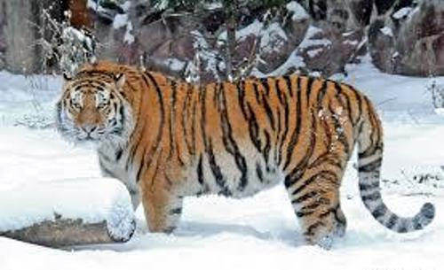 Siberian Tiger Picture
