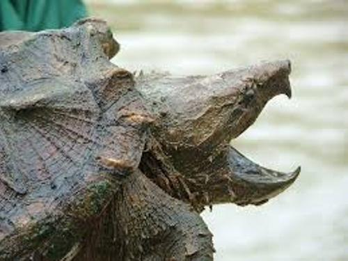 Facts about Snapping Turtle