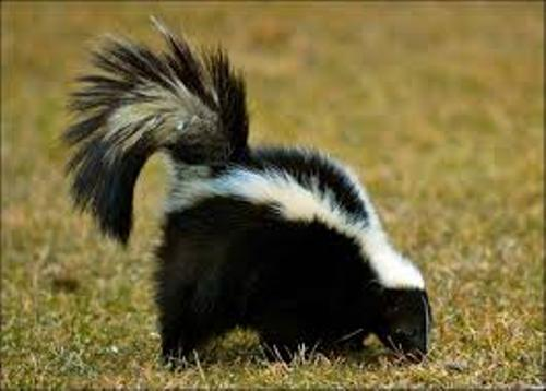 10 Interesting Skunk Facts My Interesting Facts
