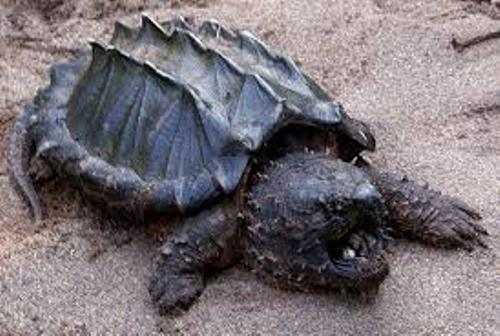 Snapping Turtle Picture