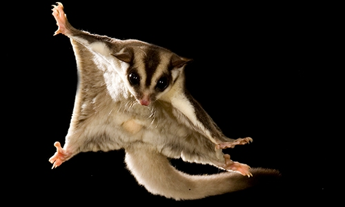 Sugar Glider Flies