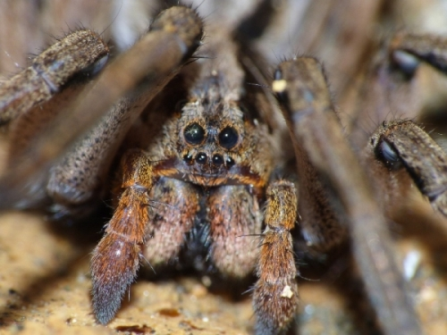 Facts about Tarantula