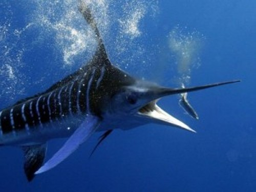 Swordfish Picture