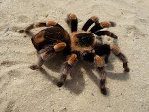 Tarantula Facts