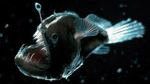 The Angler Fish Picture