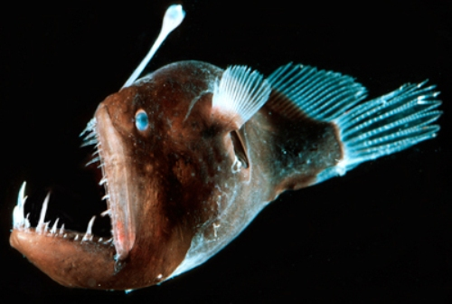10 interesting the angler fish facts my interesting facts