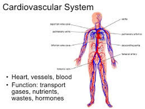 Facts about The Cardiovascular System
