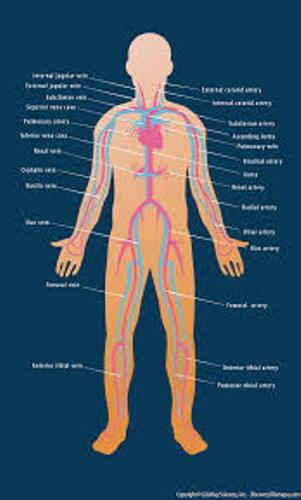 The Cardiovascular System Pictures