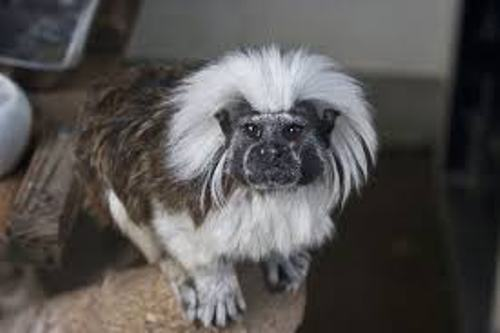 The Cotton Top Tamarin Facts