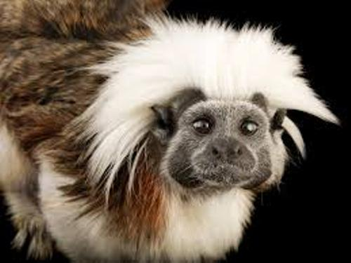The Cotton Top Tamarin Image