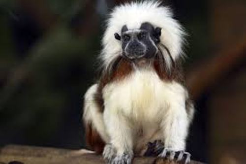 The Cotton Top Tamarin Pic
