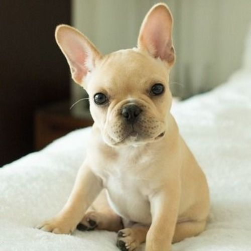 French Bulldog Facts