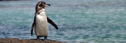 Galapagos Penguin Images