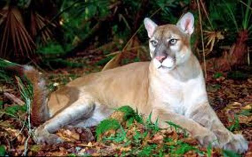 The Florida Panther