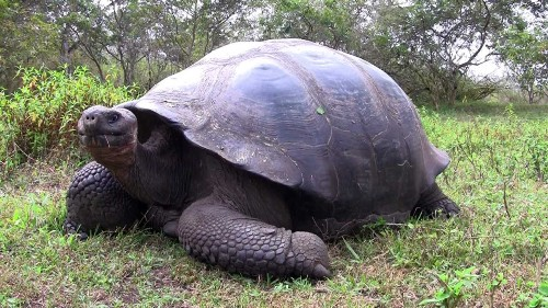 The Galapagos Tortoise Pic