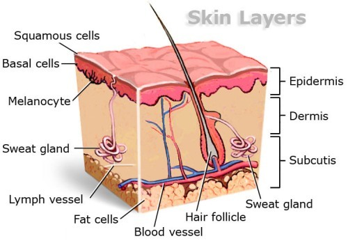 Facts about The Integumentary System