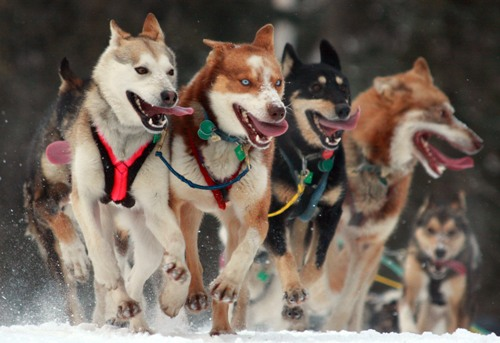 The Iditarod Race Facts
