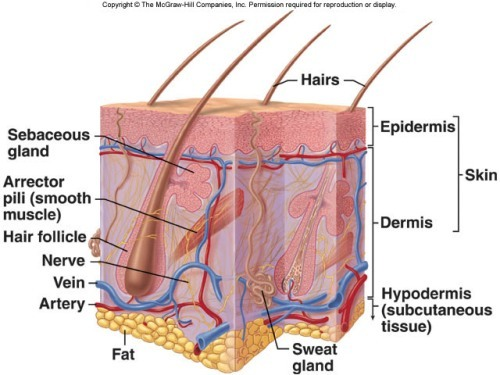 The Integumentary System Facts