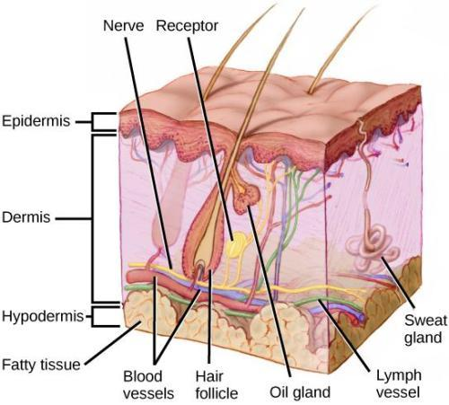 The Integumentary System Image
