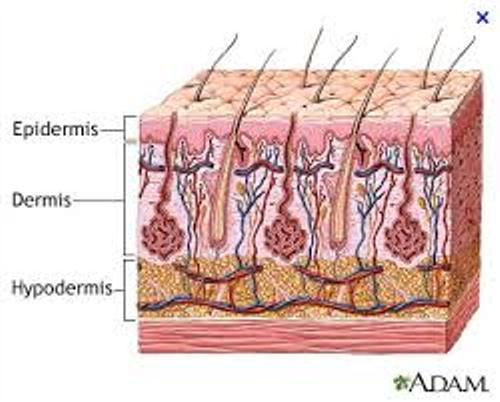 The Integumentary System Pictures