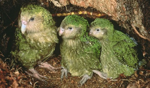 Facts about The Kakapo