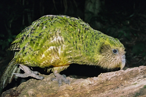 The Kakapo Colors