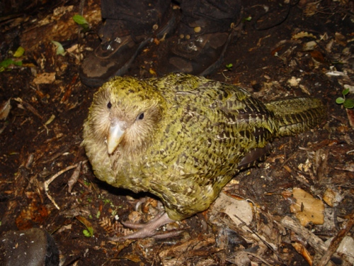 The Kakapo Pictures