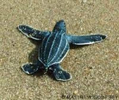The Leatherback Sea Turtle Pic