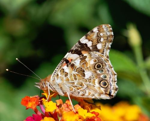 the painted lady butterfly beauty