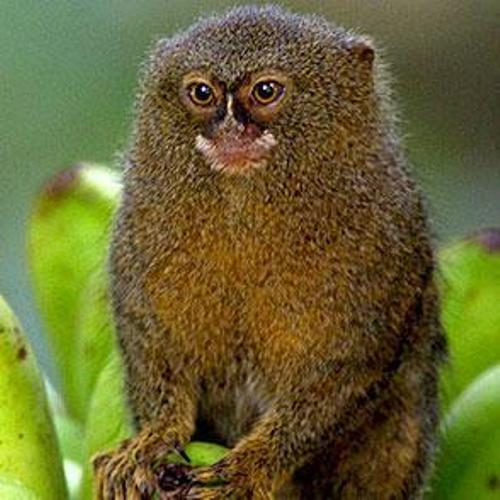 the pygmy marmoset pic