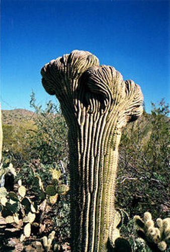 the saguaro cactus facts