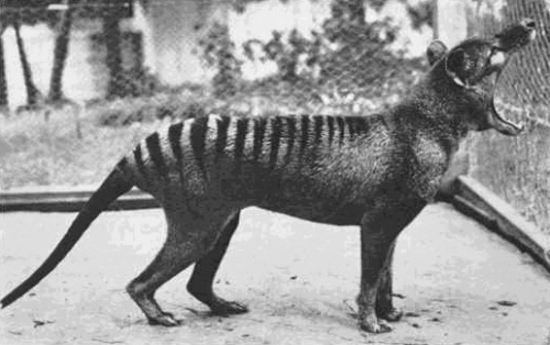 the tasmanian tiger pic