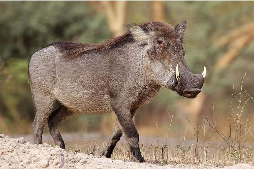 10 Interesting Warthog Facts | My Interesting Facts