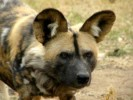 10 Interesting African Wild Dog Facts