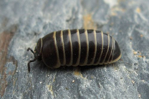 Facts about Woodlice
