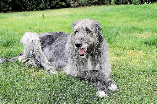 Irish Wolfhound Facts