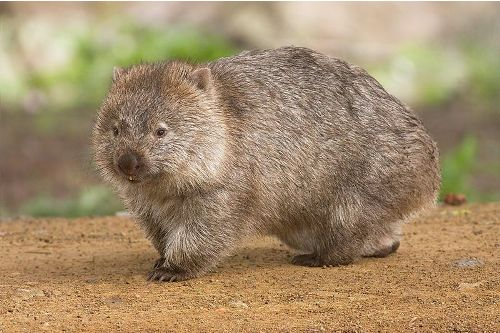 facts about Wombat