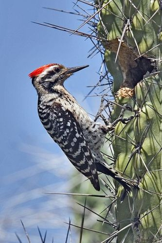 Woodpecker Facts