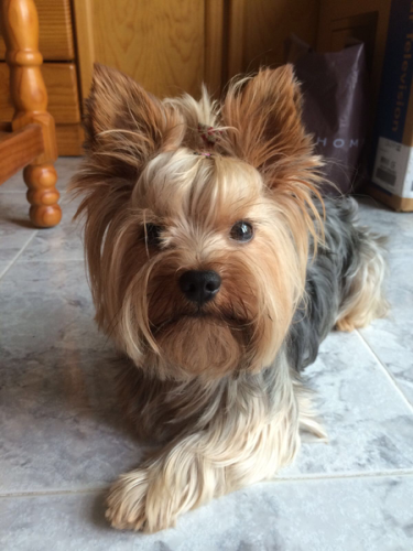 Facts about Yorkie