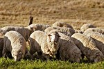 10 Interesting Wool Facts