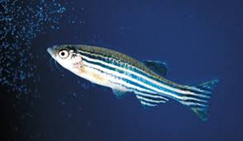 Zebrafish Facts