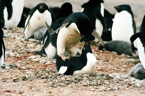 Adélie penguin Mating