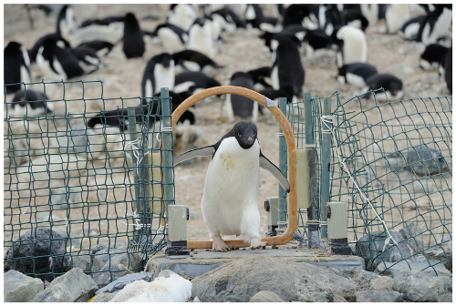 Facts about Adelie penguin