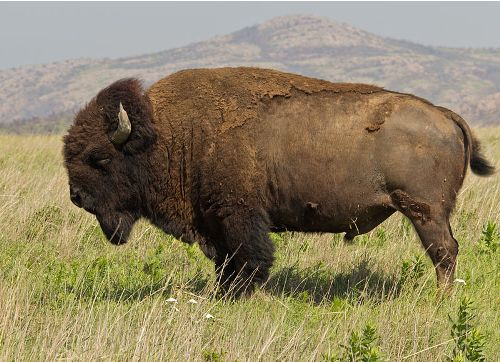Facts about American Bison