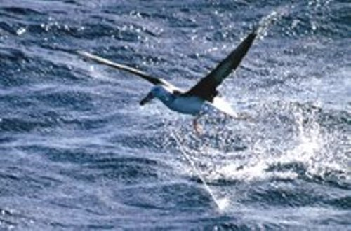 Facts about albatross