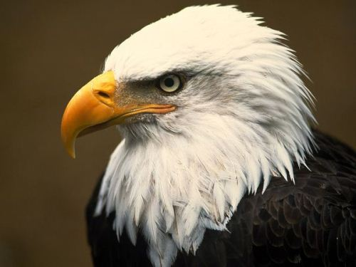 Bald Eagle's Head