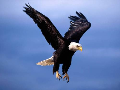 Bald Eagle's Wings