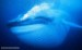 10 Interesting Blue Whale facts