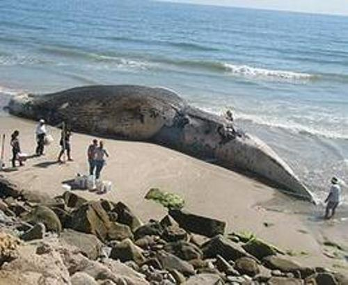 Blue Whale on Beach