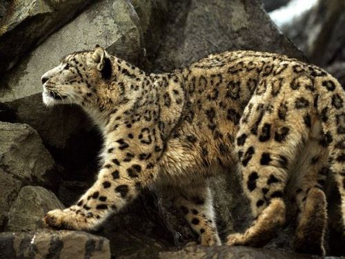 Brown Snow Leopards